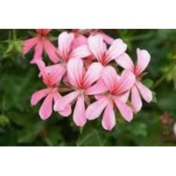 Balkonprinz rosa
