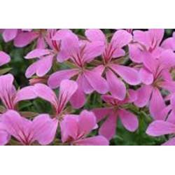 Balkonprinz lila