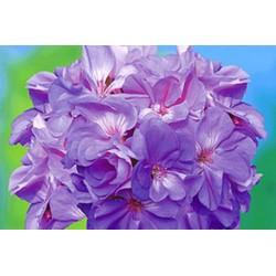 Halbhänger violett