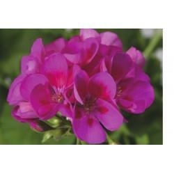 Pelargonien stehend lila