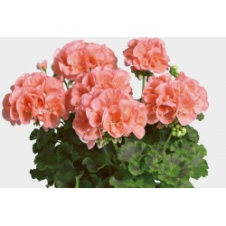 Pelargonien stehend rosa