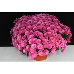 Multiflora pink