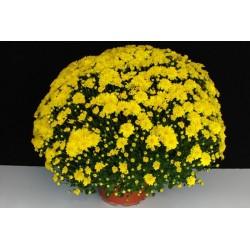 Multiflora gelb