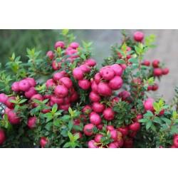 Scheinbeere rosa